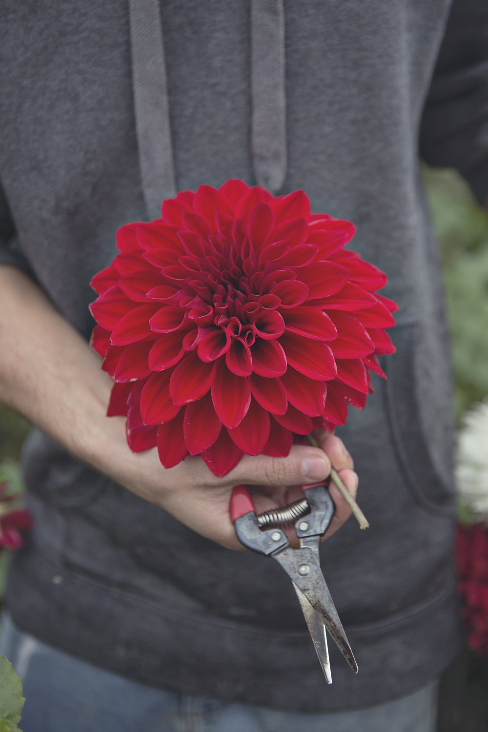 Red Toned Dahlias