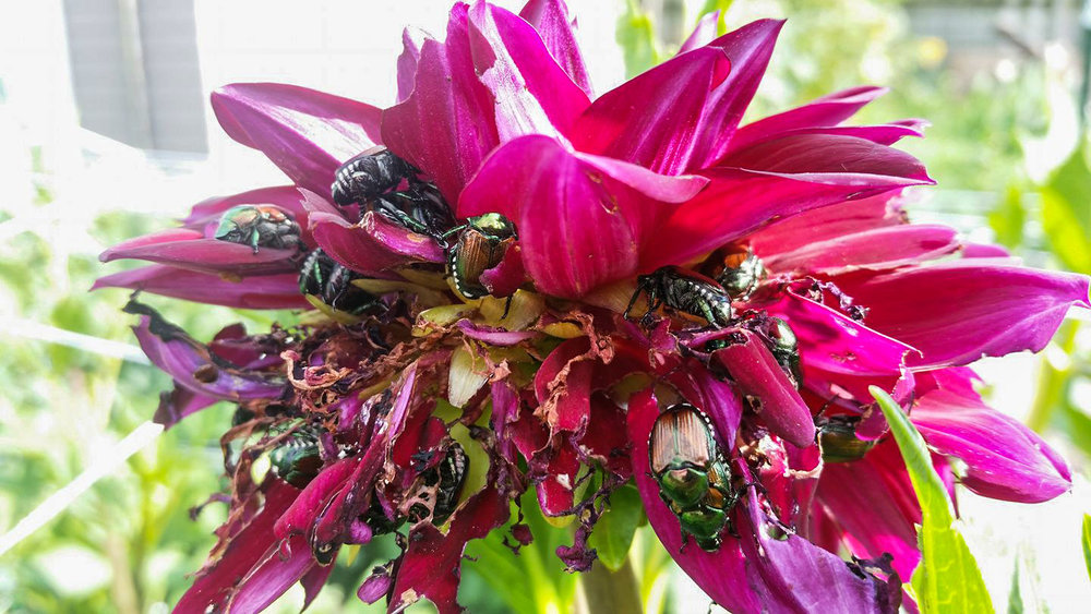 An example of Japanese Beetles feeding on a dahlia flower