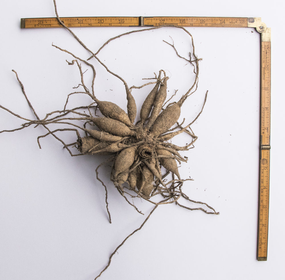 A clump of Sea Nugget dahlia tubers. The tubers are on the smaller side but a clump like this can easily split 5 or 6 times.