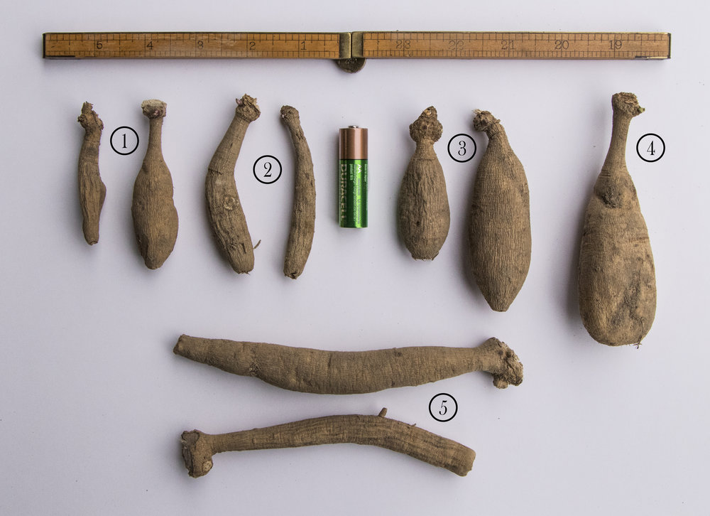 Representative examples of the variety of shapes and sizes dahlia tubers come in. AA battery for size reference. 1. Peaches n' Cream 2. Blyton Softer Gleam 3. Bonanza 4. Cafe au Lait 5. Hamari Gold