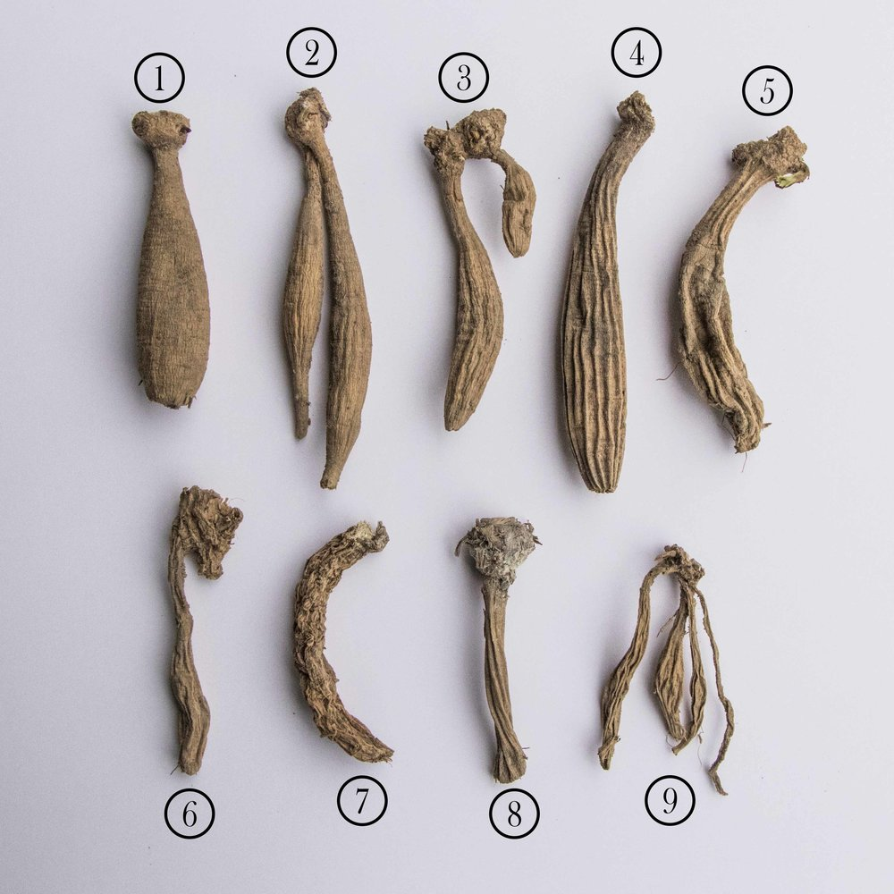 Various states of desiccated dahlia tubers