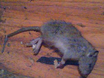 tenant-calls-for-condemnation-after-rat-infestation.JPG