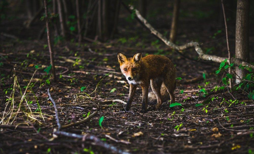 fox-918560_1920.jpg