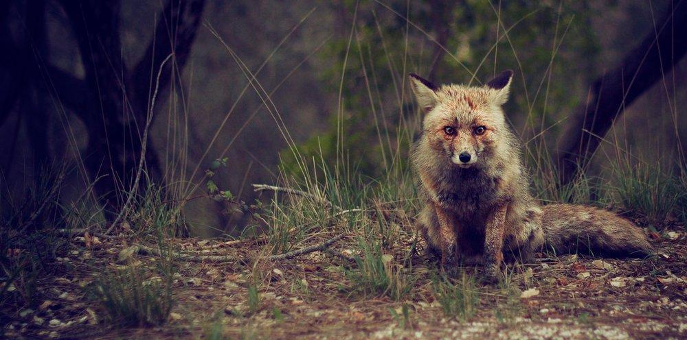 fox-1477172_1920.jpg