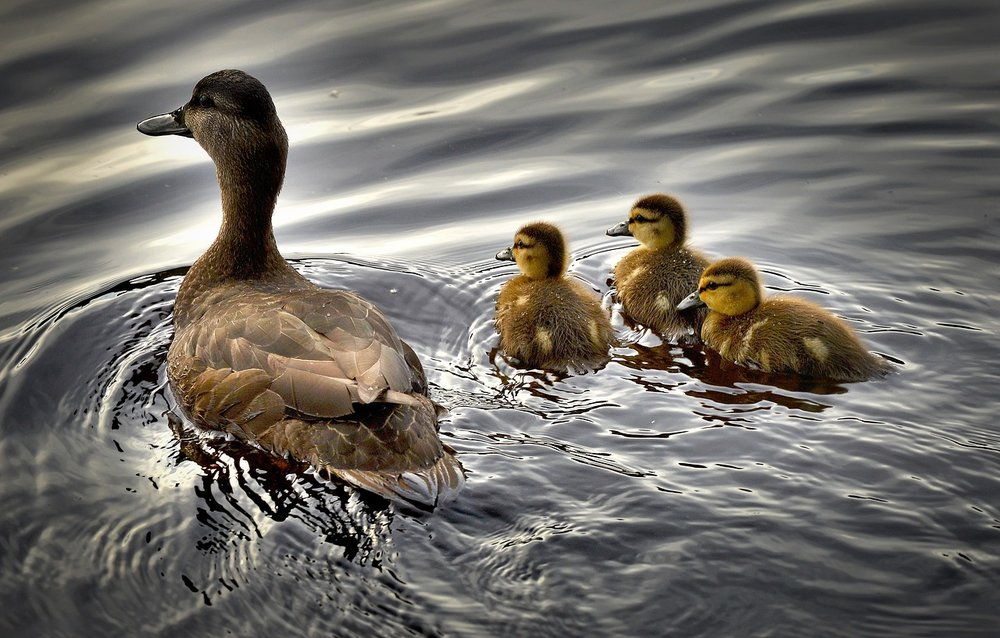black-ducks-2429165_1280.jpg