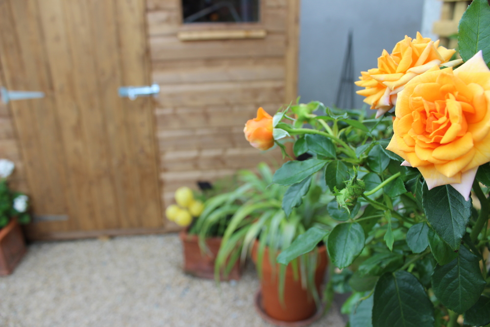 Roses and shed