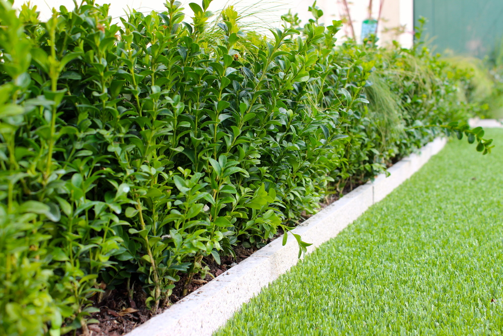 TigerTurf and Buxus sempervirens