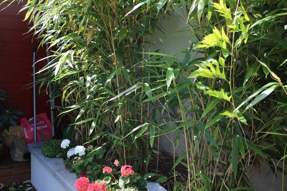 bamboo grass