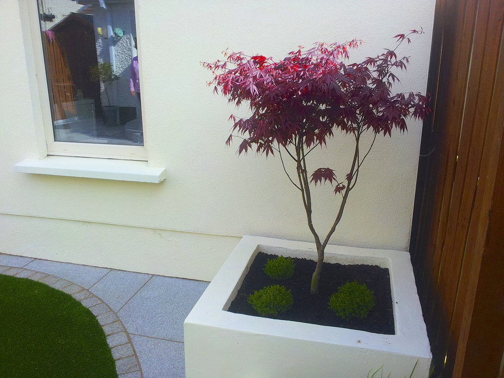 Maple tree and Planter