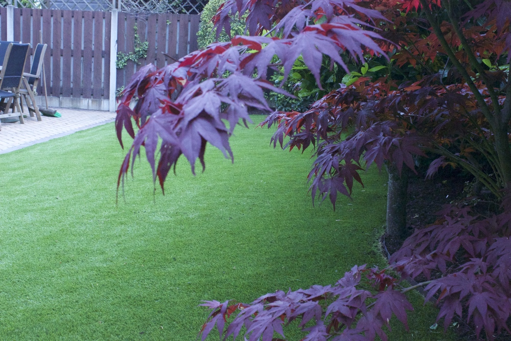 maple tree and lawn