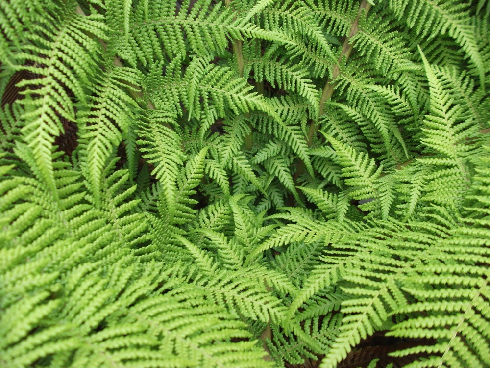 fronds of fern tree
