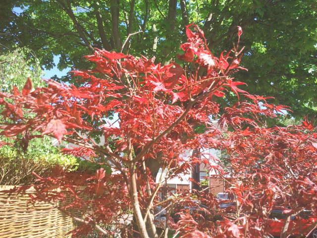 landscaped garden maple tree.jpg