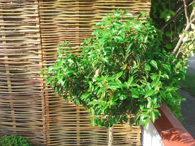 portugese laurel tree