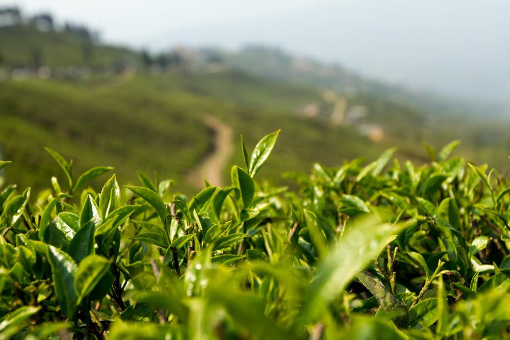 Tea growing in the tea fields of the Hariyali Cooperative in Ilam, Nepal.