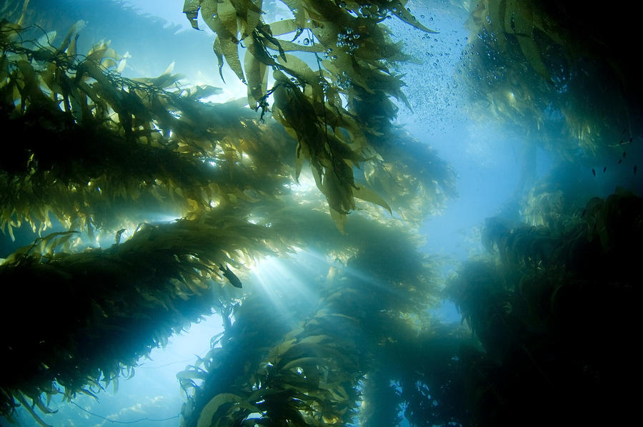 1-giant-kelp-forest-dave-fleetham