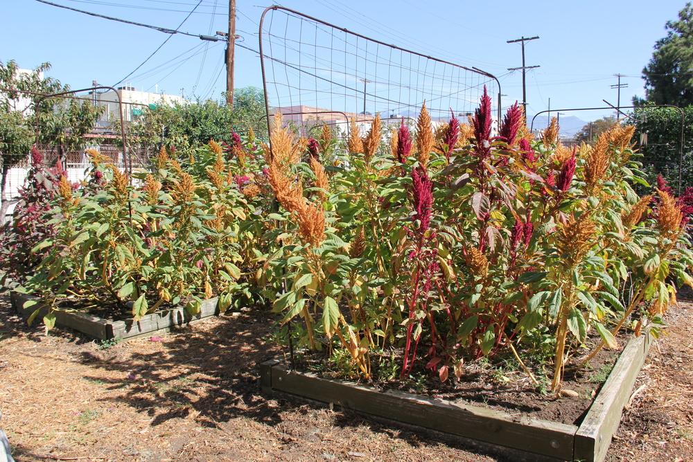 Amaranth atMilagro Allegro Community Garden, Highland Park, California 2015