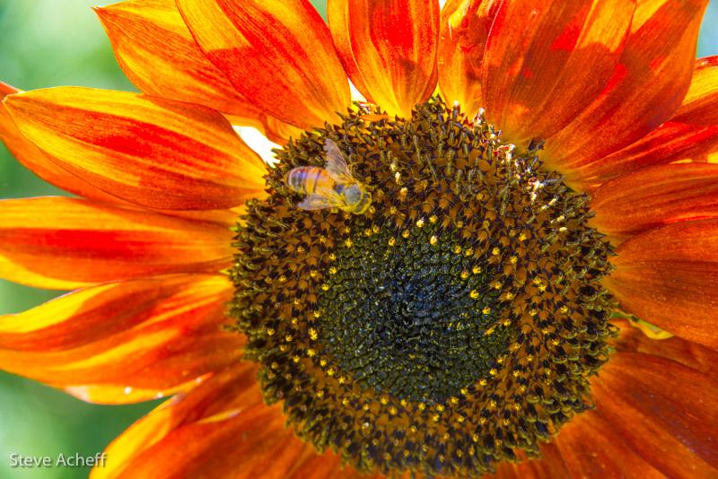 stevesunflower.jpg