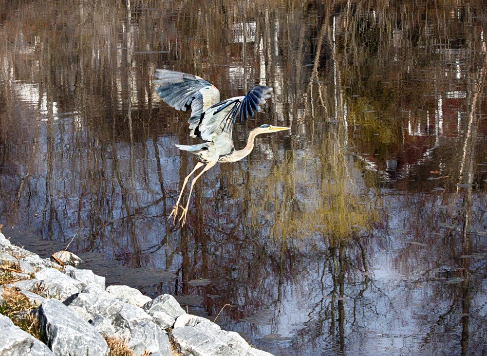 Blue Heron Taking Off