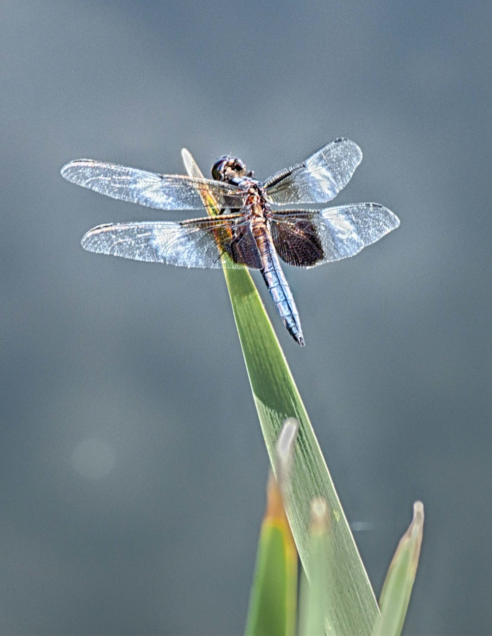 Dragon Fly with Blue and White Spots