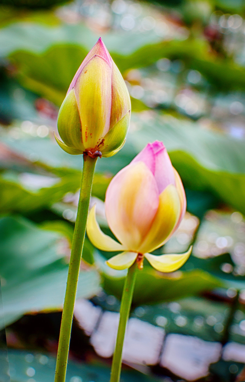 Two Lotus Buds