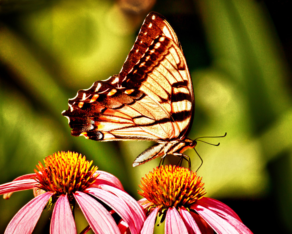 Butterfly on Cone Flower