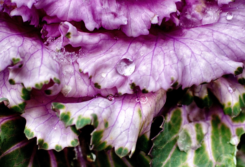 Water and Ice on Cabbage Plant.jpg
