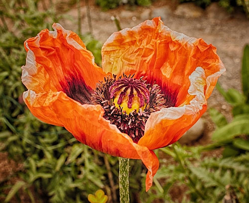 Iceland Poppy.jpg