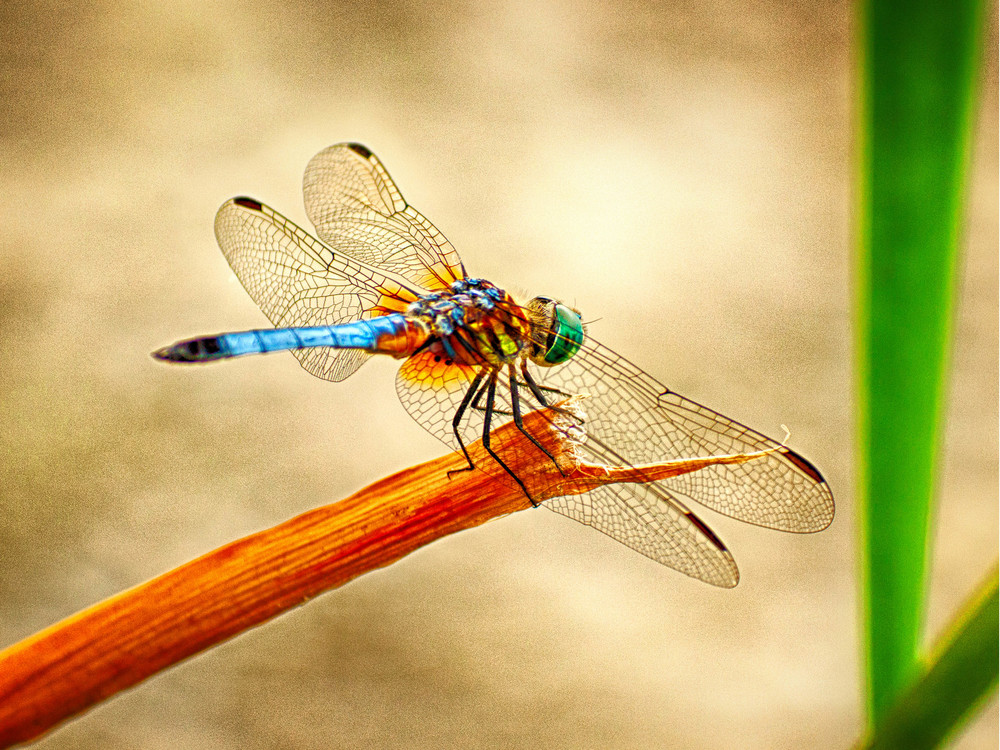 Dragon Fly on Stem.jpg