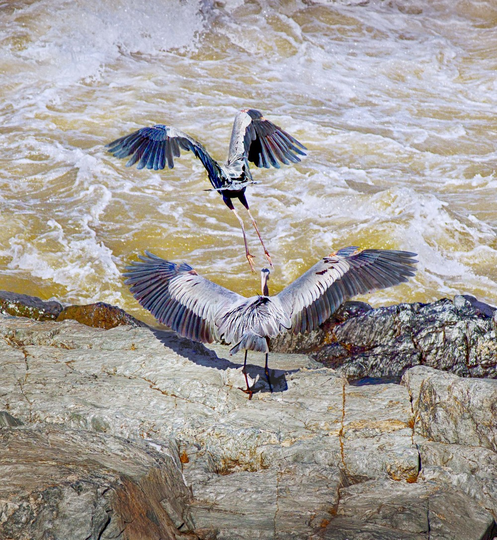 The Chase - Blue Herons a.jpg