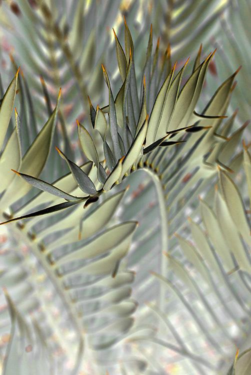 Encephalartos Horridus, Berkeley, CA 2014