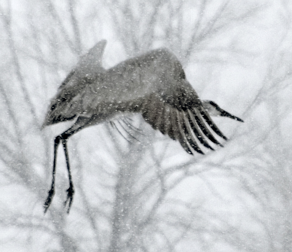 Sandhill Crane in Snow, Albuquerque, NM 2006