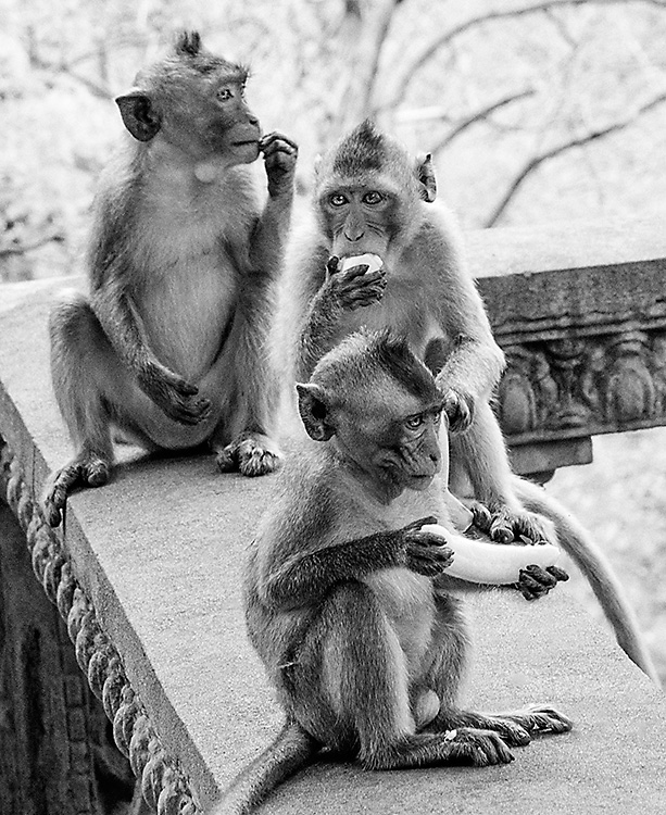 3 macaques