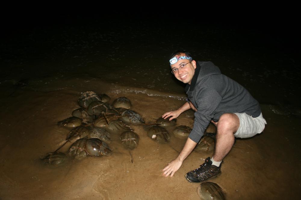 Horseshoe Crab Orgy - May 27