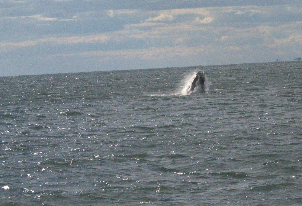 A humpback whale lunge feeding.