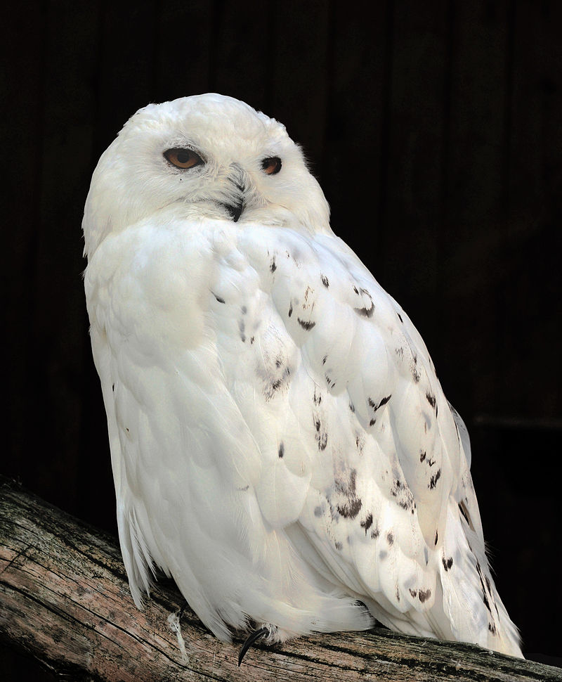 Male snowy owl. By Michael Gäbler, CC BY-SA 3.0, from Wikimedia Commons.