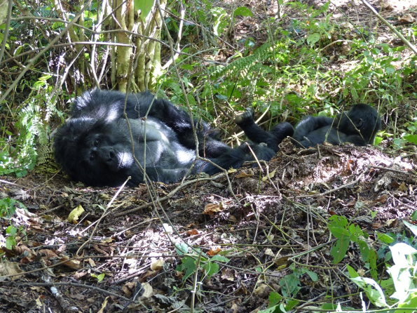Female mountain gorilla with her offspring. Photo credit to Harald Parzer.