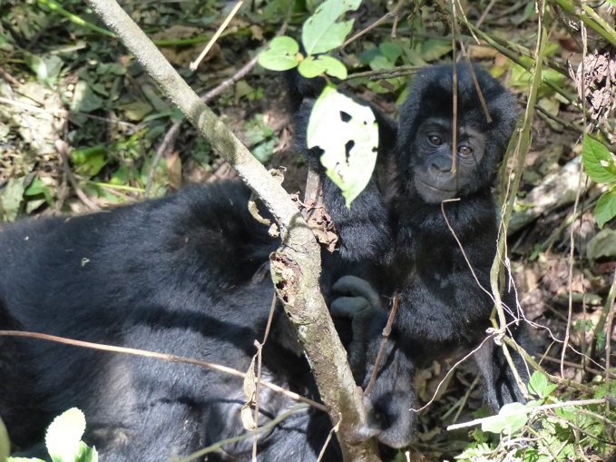 Infant mountain gorilla (about half a year old). Photo credit to Harald Parzer.