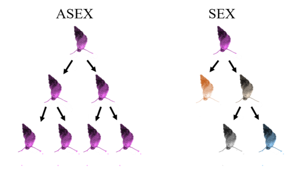 Fig. 2.  Sexual reproduction versus asexual reproduction. Color representative of genetic background.