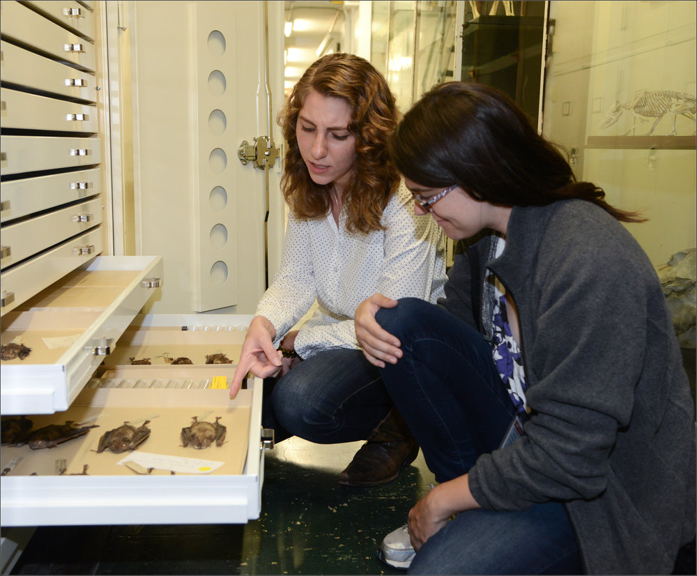 Melissa Ingala examining some bat specimens from the American Museum of Natural History. Photo Credit Roderick Mickens.