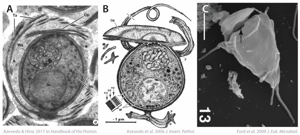 "Figure 2 . Haplosporidian spores:  A ) transmission electron microscopy (TEM) image showing a cross section of a  Haplosporidium  sp. spore ( Feist et al. 2009 );  B ) diagram of a mature  Haplosporidium montforti  spore ( Azevedo et al. 2006 );  C ) scanning electron microscopy image of a  Minchinia mercenariae  spore, arrow pointing to the opened ""lid"" and the opening below ( Ford et al. 2009 )."