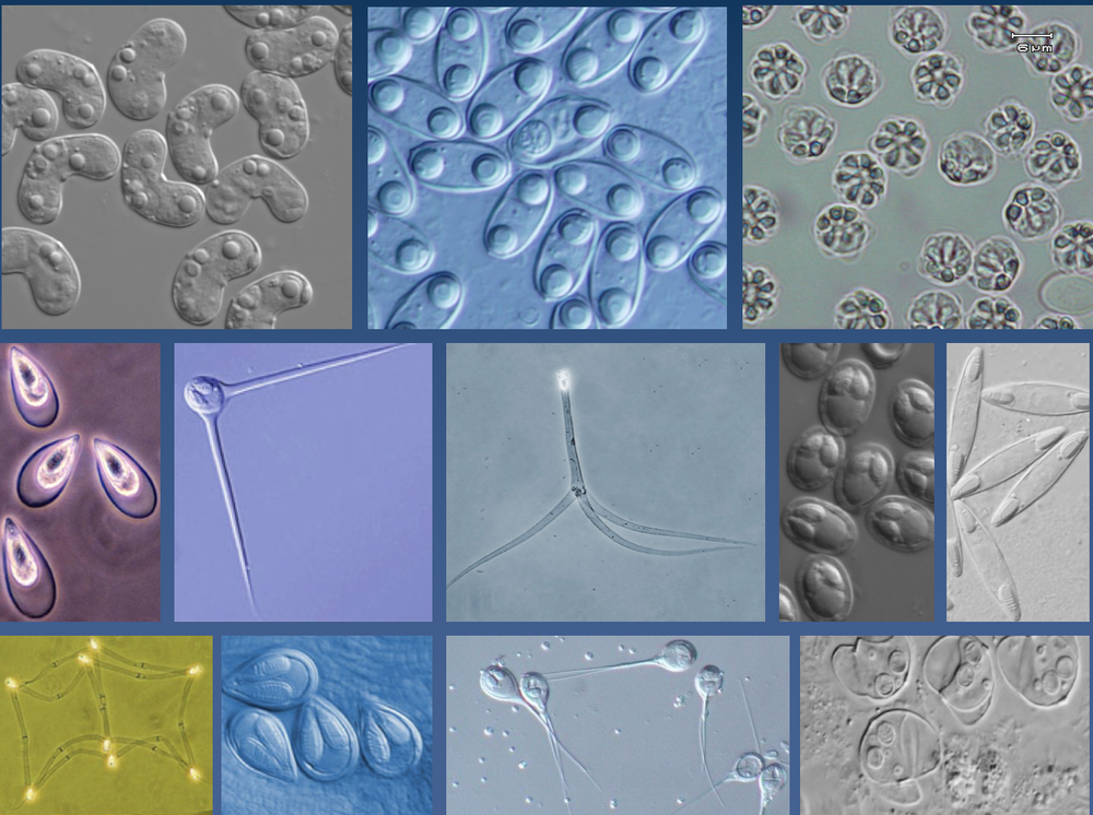 November - Myxozoa - Jonathan Foox -Weill Cornell Medicine, NYC