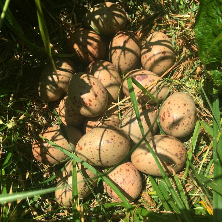 Fig. 3.  Pūkeko nest containing 17 eggs. Note the varying patterns on the eggs. Photo credit Aileen Sweeney.