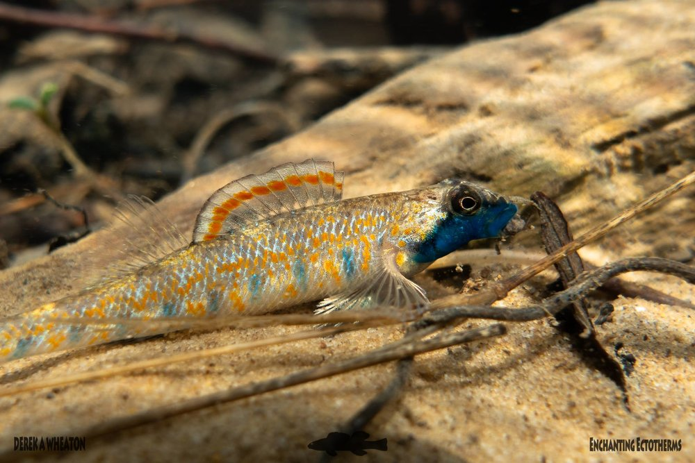 Figure 2.  Bluemask Darter ( Etheostoma akatulo ). Photo by Derek Wheaton.