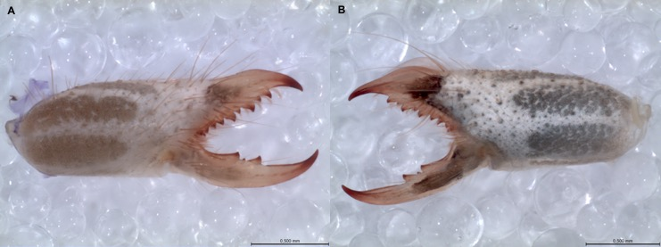 "Figure 4.  Chelicerae of female (A) and male (B) of a mummuciid solifuge. Note the different morphologies between them, and that the male has a dorsal translucent structure, which is absent in females named the ""flagellum,"" that is involved in mating. Photos: R. Botero Trujillo."