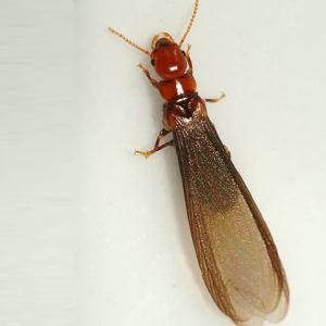 """Drywood """"Flying"""" Termite"""