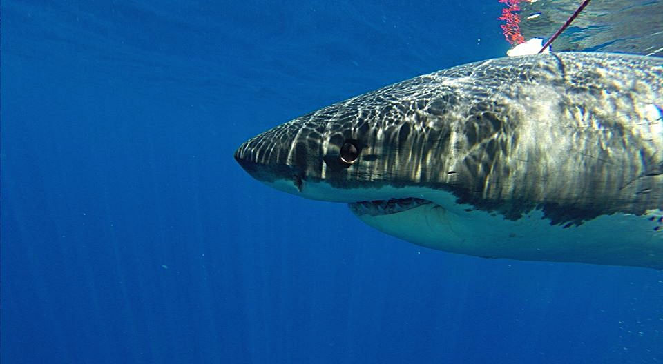 Cage diving with Great Whites off the coast of Guadalupe Isle, MX... this 16' gentle giant was ready for his close-up—and took my breath away.