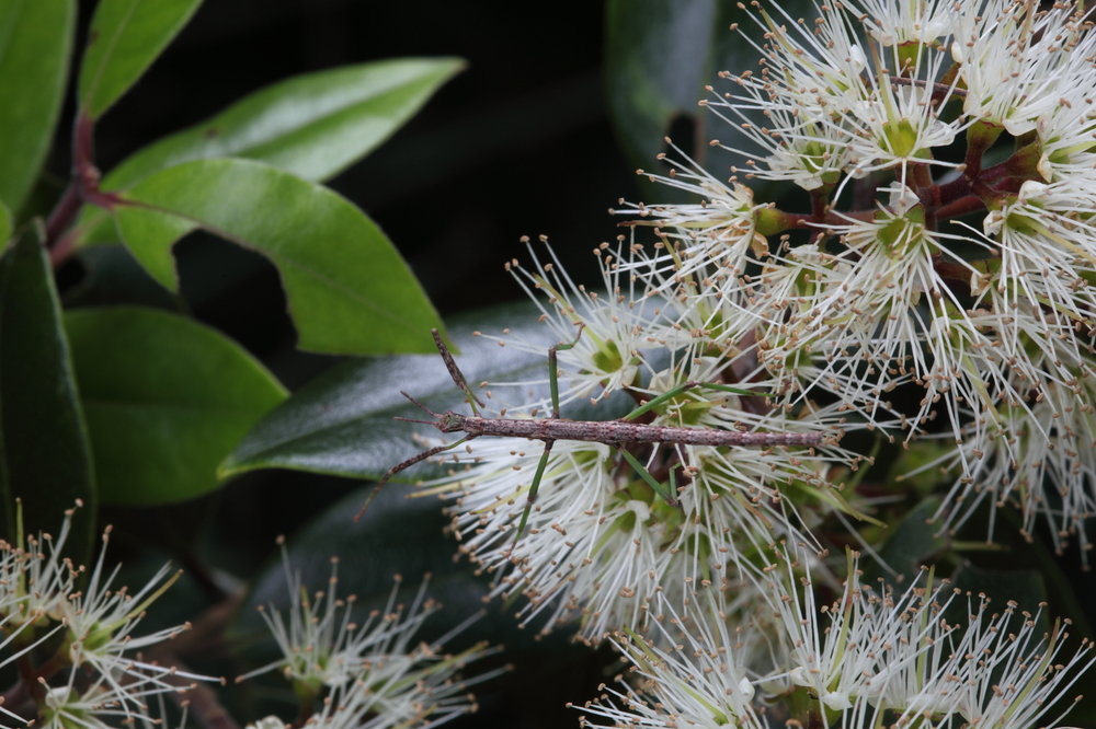 Students at Kaitaia College have been growing Bartlett's rata  Metrosideros bartlettii .