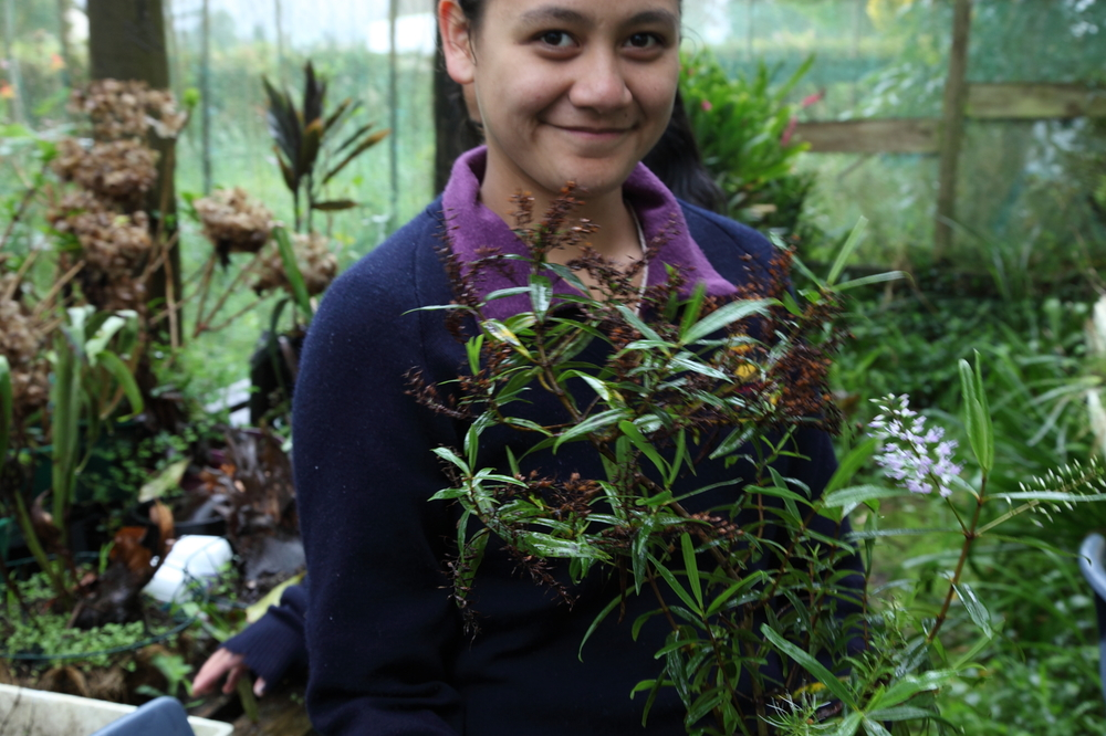 Students from Northland College grew Adam's Koromiko  Hebe adamsii  in their shade house.