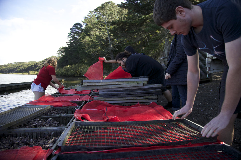 Juvenile oysters being prepared to be placed on the farm.