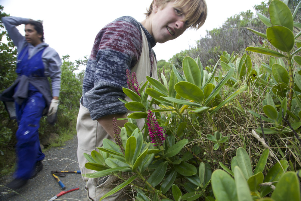 There are threatened plants as well as threatened animals on Matiu Somes. Here a student clears competitors from Ngapuka a critically threatened hebe.